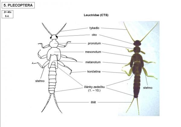 Leuctridae (CTS)